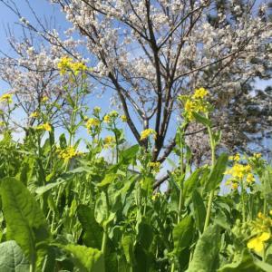 柚子の植え替とお花見