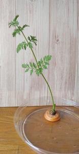 人参の再生栽培