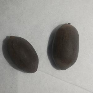 ハスの種子の発芽処理