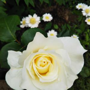 薔薇のリレーと娘からの電話