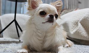 【小型犬に多い病気】パテラ(膝蓋骨脱臼症候群)