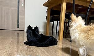 【保護犬チワワ】飼い主を待つ忠犬 寧々アロハ