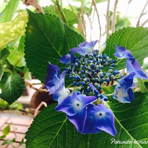 我が家の紫陽花。