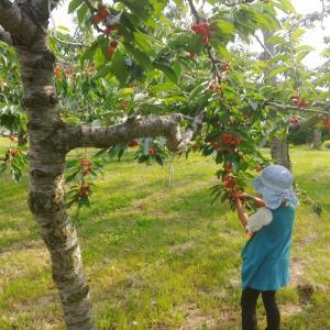 さくらんぼ狩り🍒果物狩りにハマる娘🍓🍒そして翌日は未開の地へ