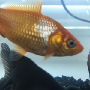 金魚の成長日記 Part1