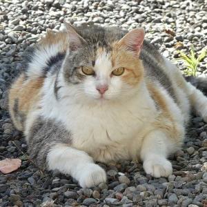 猫のおなかのたぷたぷと肥満の見分けかた