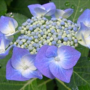 【紫陽花】がもう咲き始めました「心の癒しをありがとう」