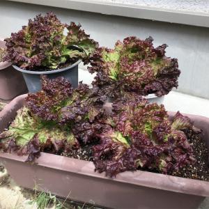 プランターで春夏野菜を作ろう