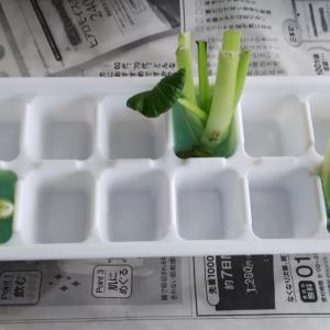 小松菜は駄目?