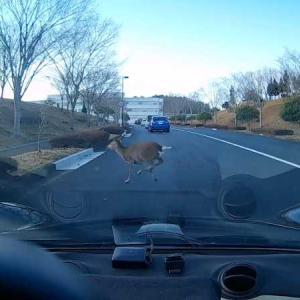 飛び出鹿注意