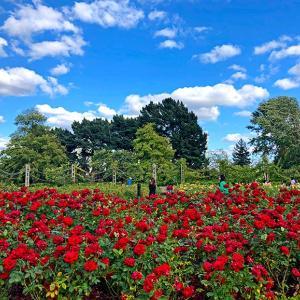 リージェンツパークのバラ園 Queen Mary's Rose Gardensをお散歩