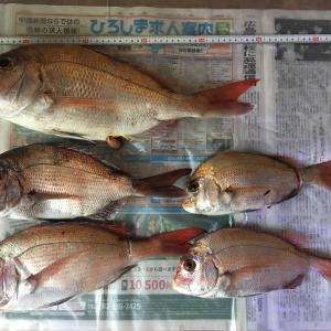 ⑧5/24大潮 真鯛5尾 50センチ最大