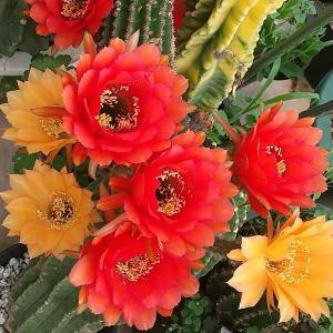 花サボテンの名前について思う・・・
