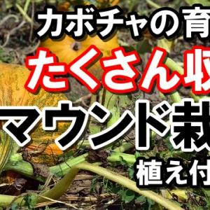 カボチャの育て方『マウンド(くらつき)栽培』植え付け編