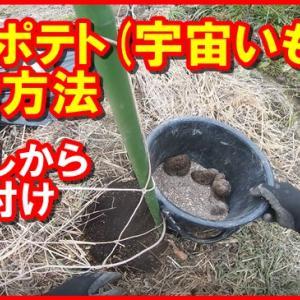 【家庭菜園】エアポテト(宇宙イモ)の栽培方法 その1:芽出しから植えつけまで