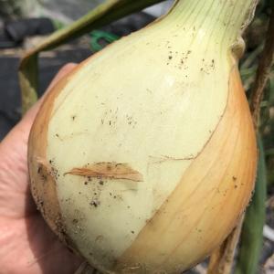 ジャンボたまねぎ[大玉アトン]の育て方 種まき,定植から収穫まで