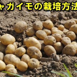 【ジャガイモの栽培方法③】驚愕『超浅植え』!前回②の「植えない植え付け」でマルチ焼け腐敗が心配ならコレ 毎年豊作!!画像あり