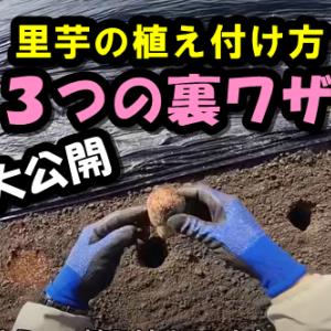 【里芋の育て方】里芋の植え付け『3つの裏ワザ』大公開