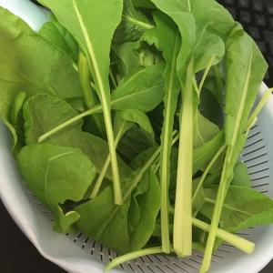 小松菜収穫8回目
