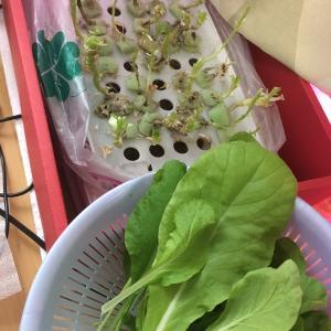 小松菜最後の収穫