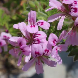 香りの良いローズゼラニウムは一般的な庭用ゼラニウムと違う!育て方や増やし方は?