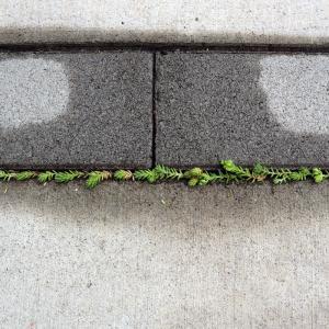 駐車場の細い目地にセダムは根付くのか?モリムラマンネングサの万年草力に期待!