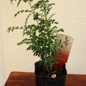植物日記:ガーン観葉植物と思って買ったら庭木だった