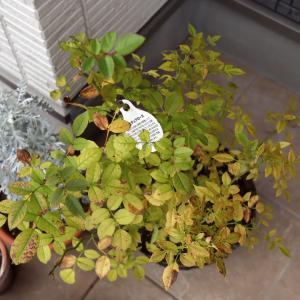 薔薇日記:ミニバラの葉が黄色くなったのは何故?誰か教えてー