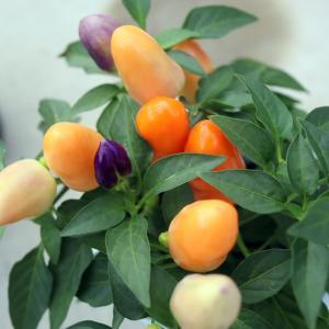 育てやすい五色トウガラシ(ゴシキトウガラシ)はこぼれ種で翌シーズンも楽しめる