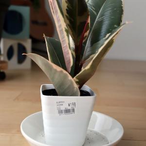 観葉日記:ゴムの木(Ficus elastica)、写真ギャラリー