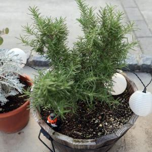ローズマリーの挿し木の方法。正しい方法と我流を紹介(10月)