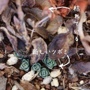 冬:ミセバヤが枯れたけど足元にツボミがたくさん。世代をつないでいくのが嬉しい。