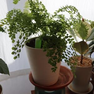 アジアンタムの育て方:切戻しの重要性を実感。茶色くなって伸び切った枝は剪定しよう