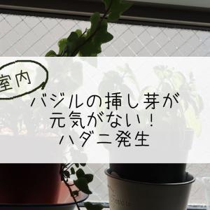 室内バジルの挿し芽が元気がない!ハダニ発生!