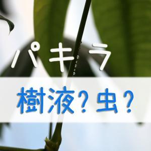 パキラの茎に透明の蜜のような水滴発生!樹液orカイガラムシ:原因は?