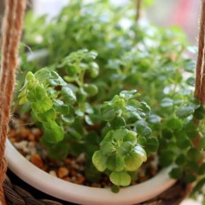 ピレアディプレッサの増やし方:挿し芽で元気に増殖中!