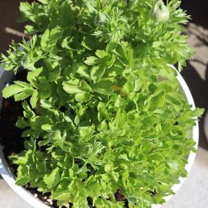 ラナンキュラス球根、初の植え付けで蕾が!達成感じんわり。