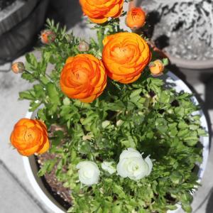 ラナンキュラス開花♪自分で掘り上げ&植え付けした球根が花を咲かせました