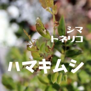 シマトネリコの新芽が枯れた!害虫の正体はハマキムシ。対策と予防方法