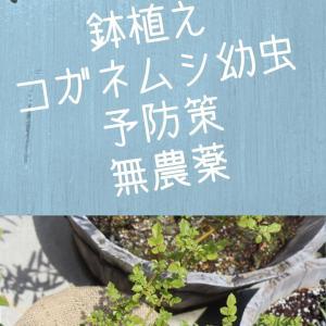 鉢植えのコガネムシ幼虫、予防策いろいろ。無農薬でオシャレに防ぐ!