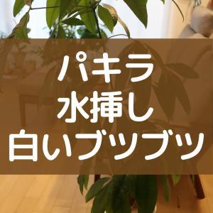 パキラの剪定した葉を水挿ししていたら謎の白いブツブツが。正体はカルス?