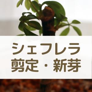 カイガラムシと大格闘、その後⑧:シェフレラを根本から剪定しても芽が出た!