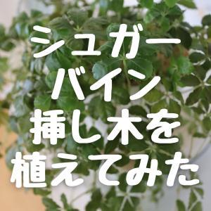 シュガーバイン、水耕栽培していた挿し木を植えてみた