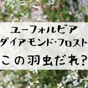 """開花したユーフォルビア """"ダイアモンド・フロスト"""" に飛び交う羽虫の撮影に成功!"""