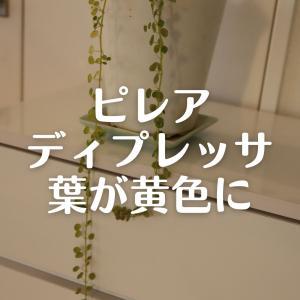 ピレアディプレッサの葉が一部黄色に。鉢増ししました