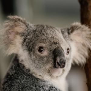 オーストラリアのカンガルー島を襲った森林火災後の今・・・