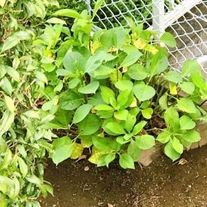 紫陽花の剪定と汚庭掃除