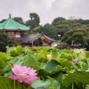 蓮の花に逢いに行きたい全州徳津公園