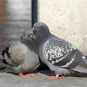 鳩は浮気しない