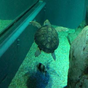 Sea turtle ウミガメ